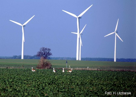 Great Bustard and wind turbines